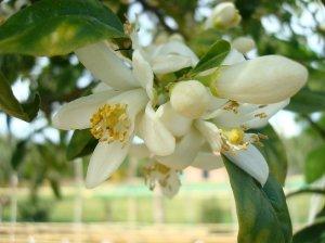 El azahar, uno de los olores de Andalucía